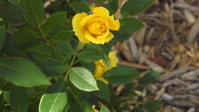 A Yellow Rose from Arkansas